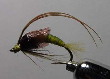Larve de rhyacophylidae